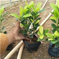 农户供应优质盆栽地栽常绿植物黄金榕袋苗厂
