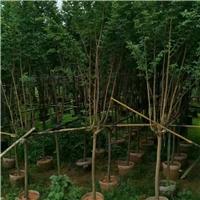 苗木种植基地多规格供应精品乔木小叶紫薇厂
