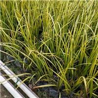 大量供应园林常绿护坡地被植物金叶石菖蒲