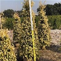 多规格大量供应可盆栽地栽常绿植物黄金垂榕