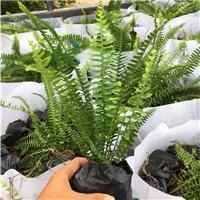 长期大量供应热带雨林地被常绿植物排骨草