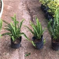 长期大量供应热带雨林地被常绿植物排骨草厂