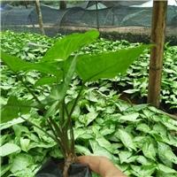 福建苗木种植基地大量供应盆栽植物合果芋厂