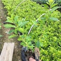 漳州种植基地常年大量供应优质苗木黄金叶