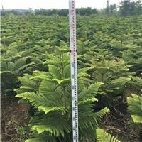大量批发供应室内净化空气盆栽绿植南洋杉