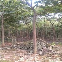 多规格大量供应园林景观绿化乔木洋紫荆厂