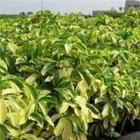 福建基地供应优质观赏常绿植物花叶鹅掌柴厂