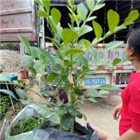 沐阳基地直销供应优质盆栽绿化植物七里香厂