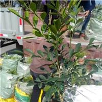 沐阳基地直销供应优质盆栽绿化植物七里香
