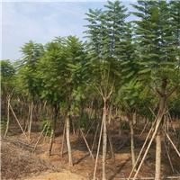 福建种植基地常年大量供应精品乔木蓝花楹