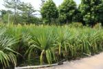 农户直销精品大型盆栽绿植红刺林投厂