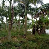 大量批发供应市政行道景观树大王椰子厂