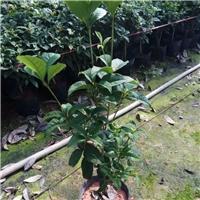 大量供应四季常青盆栽常绿植物桂花小苗厂