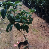 大量供应四季常青盆栽常绿植物桂花小苗