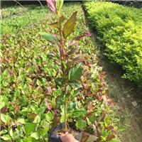 基地直销供应优质工程植物彩叶扶桑