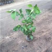 基地直销供应园林常绿护坡地被植物青叶扶桑