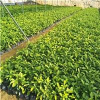 大量特价供应园林常绿灌木黄金榕袋苗