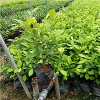 大量特价供应园林常绿灌木黄金榕袋苗厂