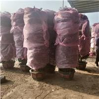 苗木种植基地大量供应观赏植物三角梅柱型厂