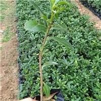 苗木种植基地大量供应常绿灌木海桐厂