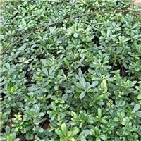 苗木种植基地大量供应常绿灌木海桐