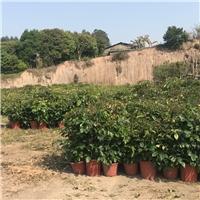产地直销供应大型盆栽观赏植物绿宝厂