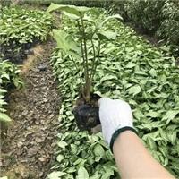 园林庭院盆栽植物合果芋大量供应