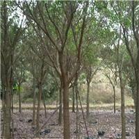 园林景观工程绿化树红皮榕特价供应