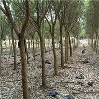 园林景观工程绿化树红皮榕特价供应厂