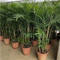 低价批发供应四季常青盆栽观赏植物散尾葵
