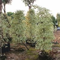 净化空气常绿观叶植物星光榕特价供应厂