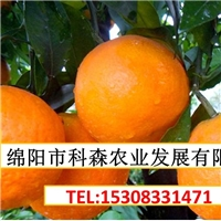 重庆柑橘苗基地 重庆柑橘苗批发