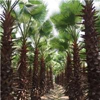 老人葵基地批发价 3米高老人葵产地价格