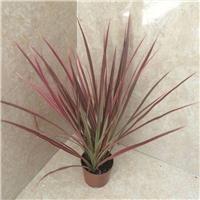 室内桌面盆栽不雅观赏植物七彩马尾铁