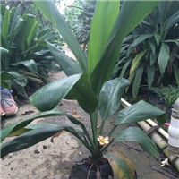 直销供应可盆栽地栽常绿植物大叶青铁
