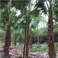 热带风景绿化树高杆蒲葵多规格供应厂