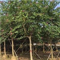 工程常绿景观绿化树红花紫荆特价供应