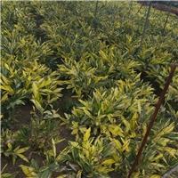 缤纷彩叶园林护坡地被花叶良姜地苗厂