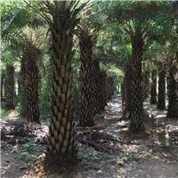 常绿热带风景绿化树中东海枣特价供应厂