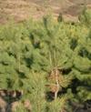 河北一级樟子松批发树形丰满