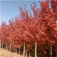美国红枫5-10公分