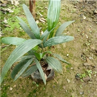 细叶棕竹首推榕翔苗木场 优惠的细叶棕竹厂