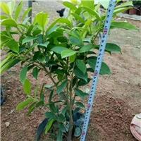 常德常绿灌木黄金榕袋苗大量出售厂
