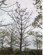 风景树木棉值得信赖 买木棉找榕翔苗木