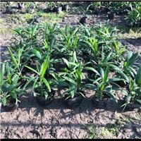 棕竹专业供应商 晋城常绿盆栽植物棕竹厂