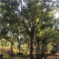 香樟专业供应商 晋城风景树香樟