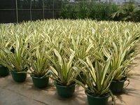 桌面净化空气植物万年麻 可批发供应