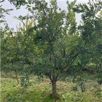 出售10-12公分精品石榴树