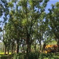 香樟价格怎么样  优质景观树香樟特价供应