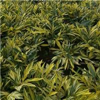 缤纷彩色观赏植物花叶良姜常年有售厂